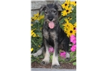 Petunia, Female, $800 | Puppy at 25 weeks of age for sale