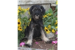 Standard Schnauzers for sale