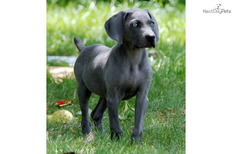 Meet BLUE IN INDIANA a cute Weimaraner puppy for sale for $600. BLUE