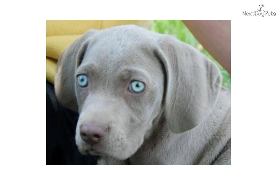 Weimaraner puppy for sale near Muncie / Anderson, Indiana ...