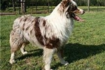 Featured Breeder of Miniature Australian Shepherds with Puppies For Sale