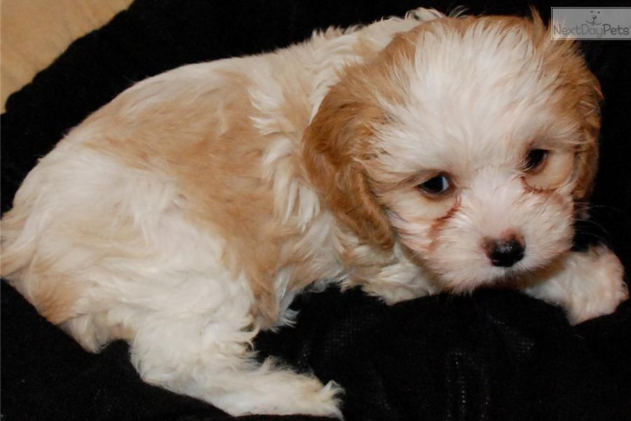 Cavachon Puppy For Sale Near Houston Texas 5833c117 85c1