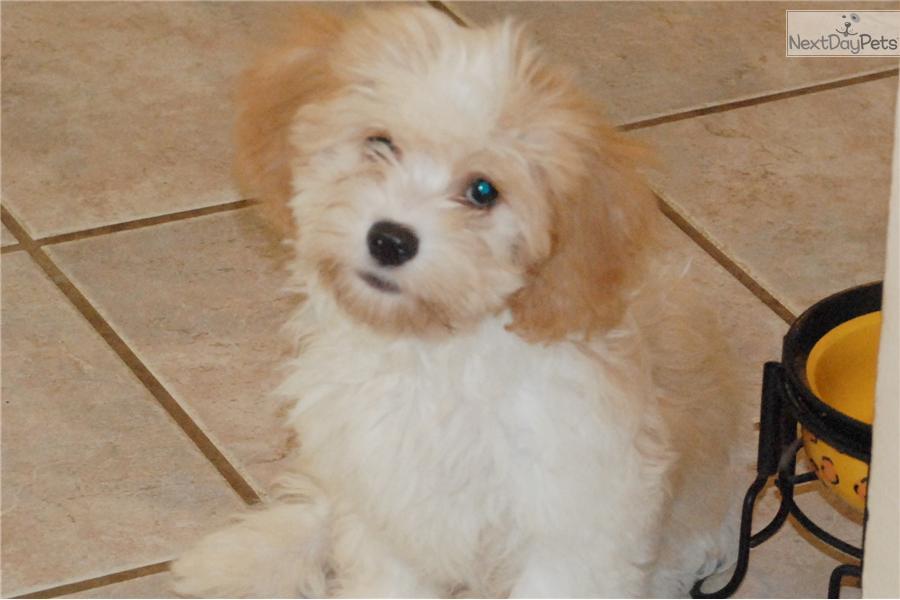 Cavanese Dog For Sale