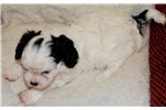 AKC Cavalier & Havanese Parents | Puppy at 14 weeks of age for sale