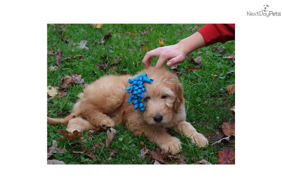 Puppy Diamond Dog Food >> Meet Bianca a cute Goldendoodle puppy for sale for $800. Goldendoodle F1 Medium
