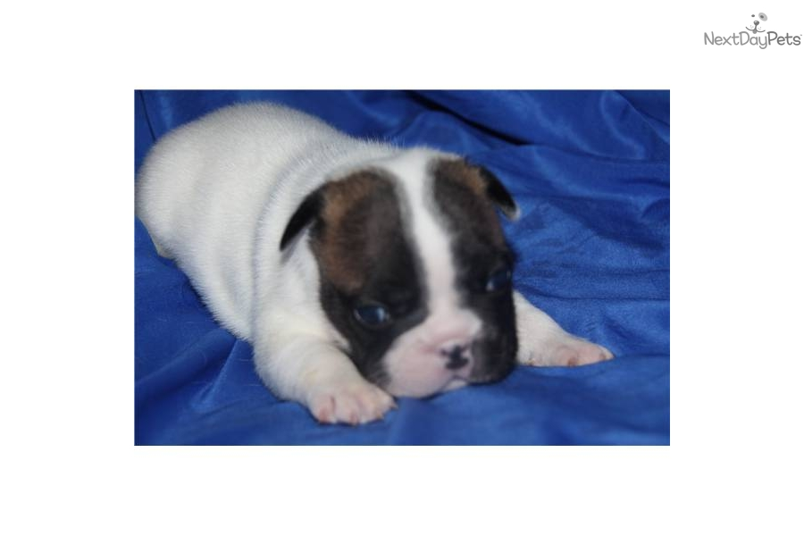 english bulldog for sale no papers Find a bulldog in essex on gumtree, the #1 site for dogs & puppies for sale classifieds ads in the uk.