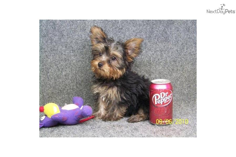 Teacup Yorkie Puppy Girl Names Agcrewall