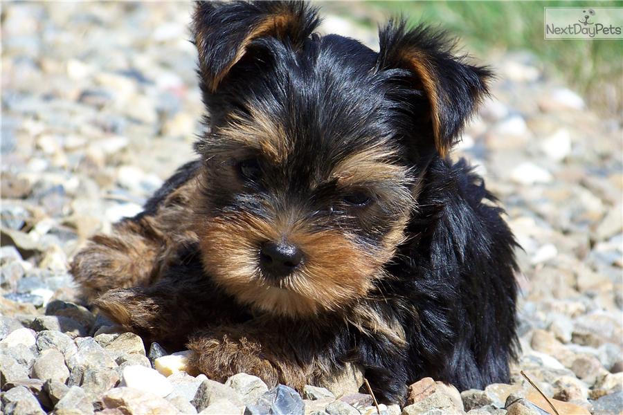 Meet Boo A Cute Yorkshire Terrier Yorkie Puppy For Sale