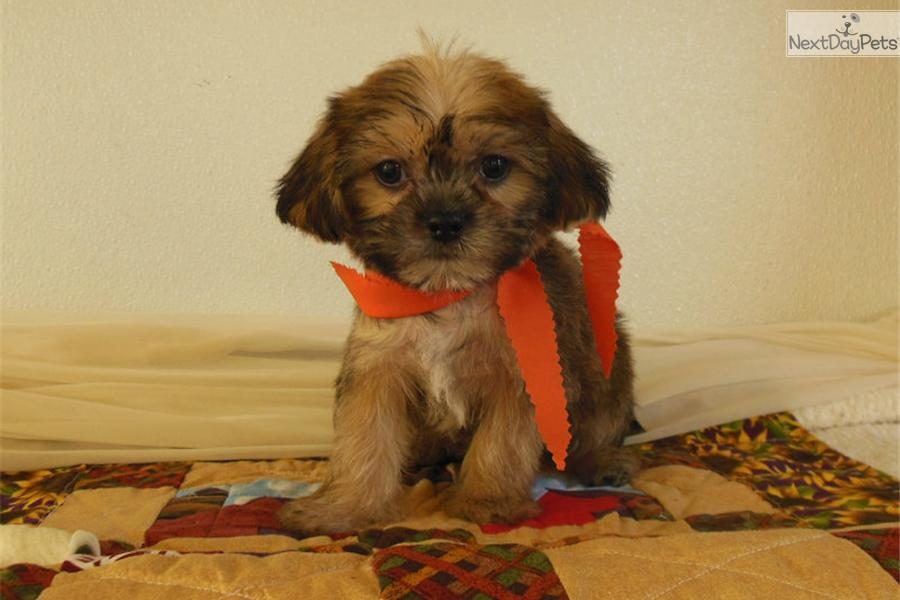 Meet BANDIT a cute Shorkie puppy for sale for $400. ROWDY SHORKIE MALE ...