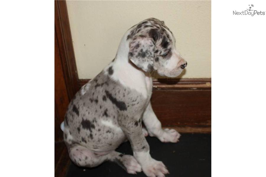 Akc harlequin great dane puppydog great dane puppy 06373b76 fb1a 4b1b