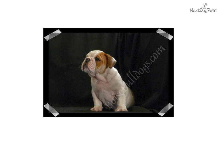 ... Bully Baby! | Red Male Bulldog Puppy For Sale in Boise ID | 3527423900