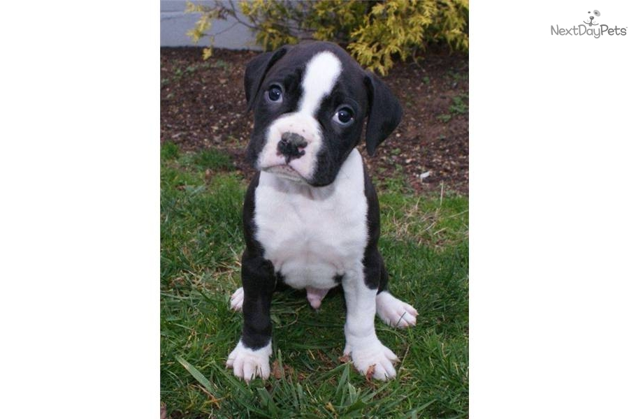 White and black boxer dog - photo#25