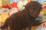 Poodle, Toy for sale