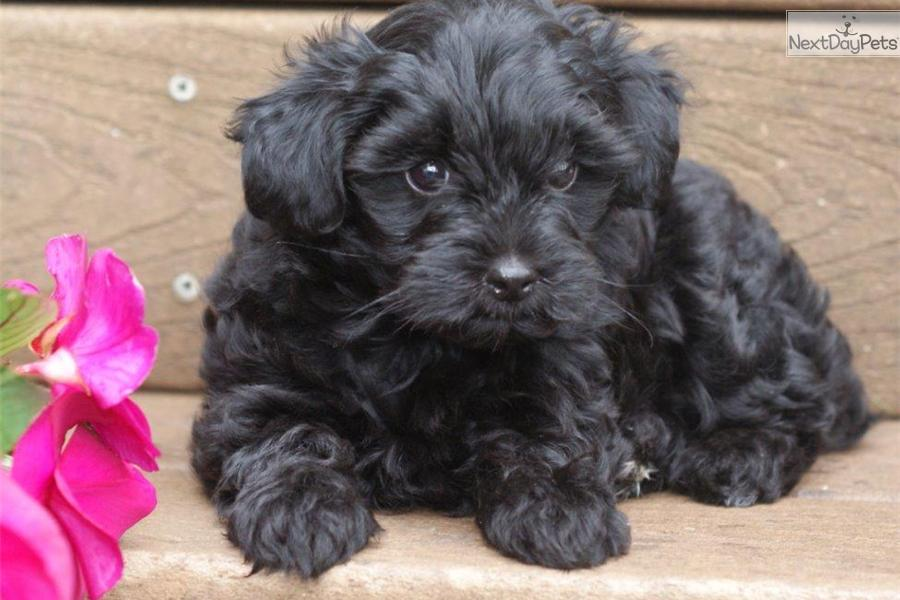 how to train a yorkie poo puppy