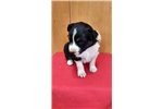 Picture of ASDR puppies