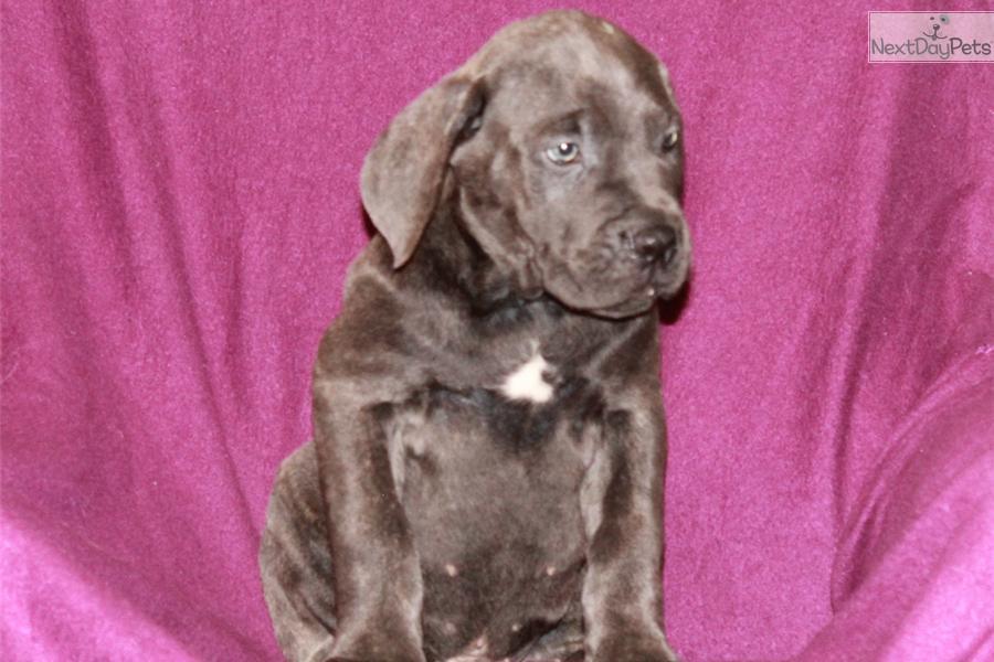 Peanut a cute Cane Corso Mastiff puppy for sale for $1,400. Cane Corso ...