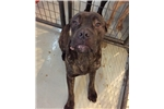 Picture of  Black brindle male one year old