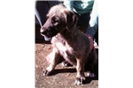 Picture of AKC Irish Wolfhounds in Oregon