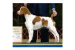 Picture of a Brittany Spaniel Puppy