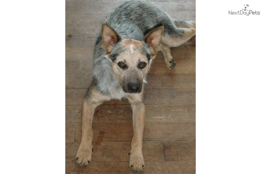 Shepherd puppy for sale for 250 wanabe greta aussie heeler cross