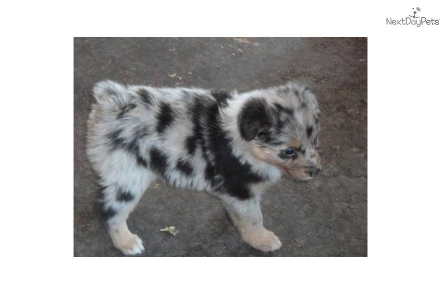 Wanabe jasmine aussie heeler cross sold australian shepherd puppy