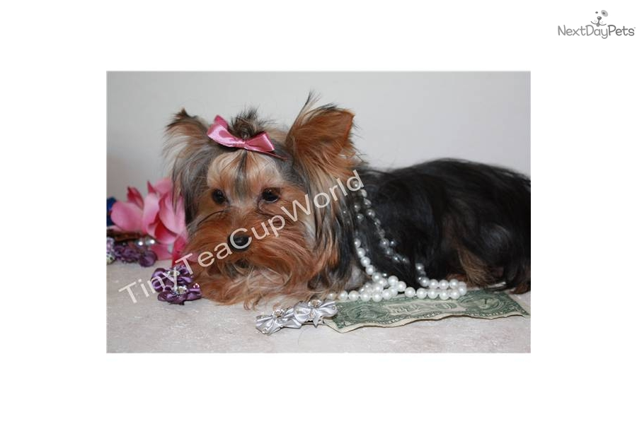 from Ean tea cup yorkie adult