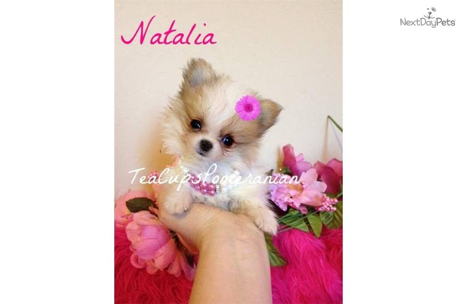 Pomeranian puppy for sale near Phoenix, Arizona | 62b86320 ...