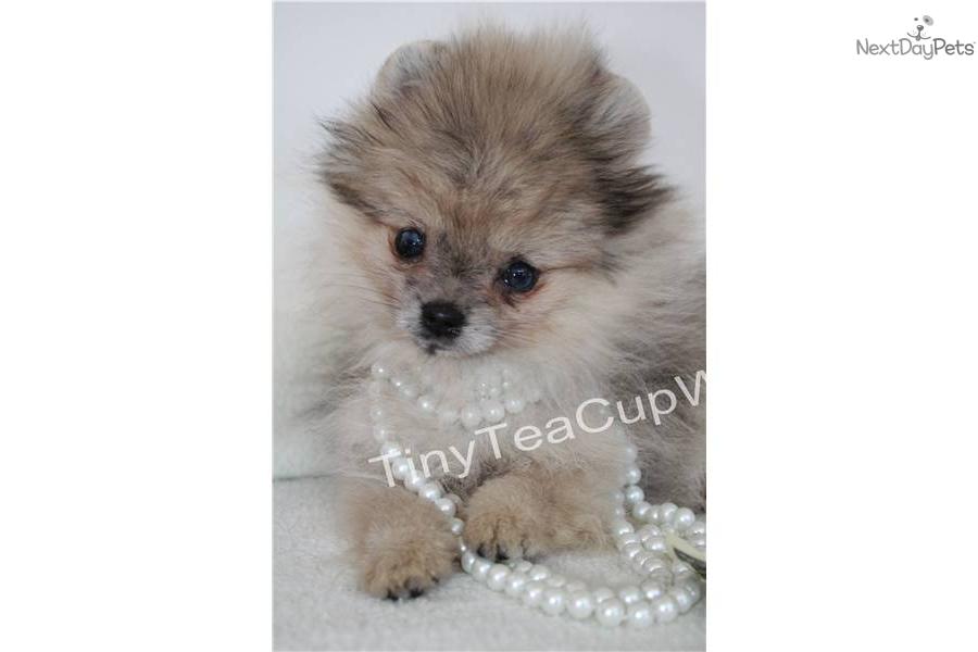 Pomeranian puppy for sale near Phoenix, Arizona   fe87e8b8 ...