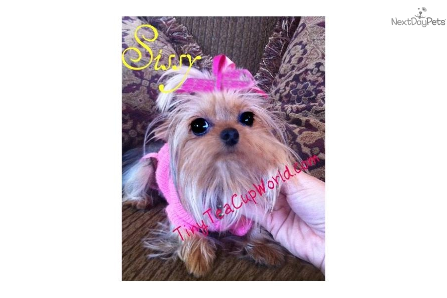 Yorkshire Terrier - Yorkie puppy for sale near Phoenix, Arizona ...: nextdaypets.com/directory/dogs/3189a763-e2c1.aspx