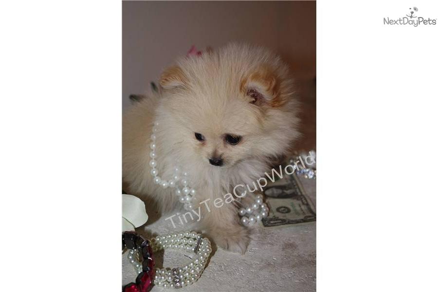 Pomeranian puppy for sale near Phoenix, Arizona   61ec4996 ...