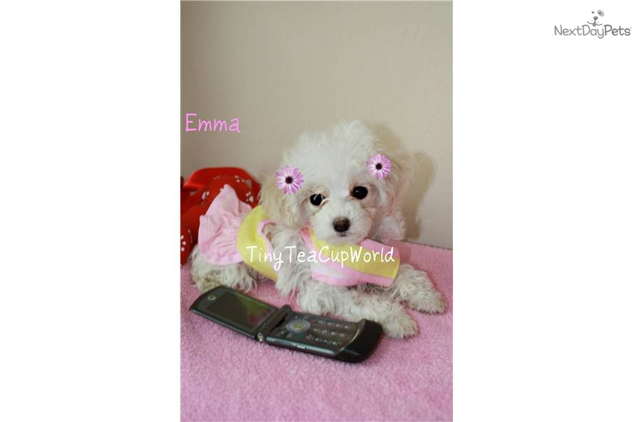 Poodle, Toy puppy for sale near Phoenix, Arizona | dfea39c7-9ef1