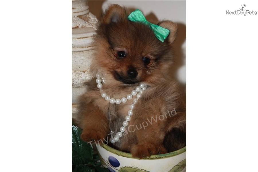 Pomeranian puppy for sale near phoenix arizona 6d1dfbfb b2a1