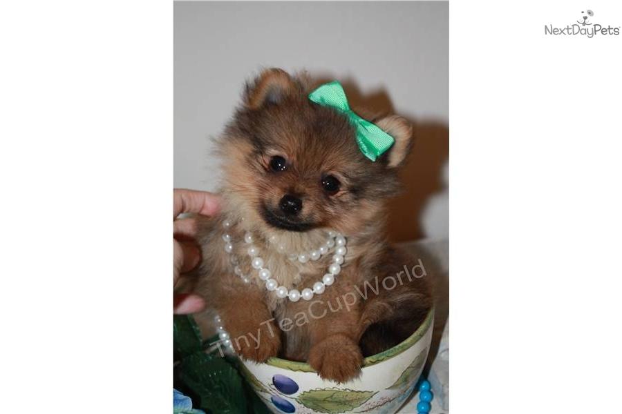 Pomeranian Puppy For Sale Near Phoenix Arizona 6d1dfbfb