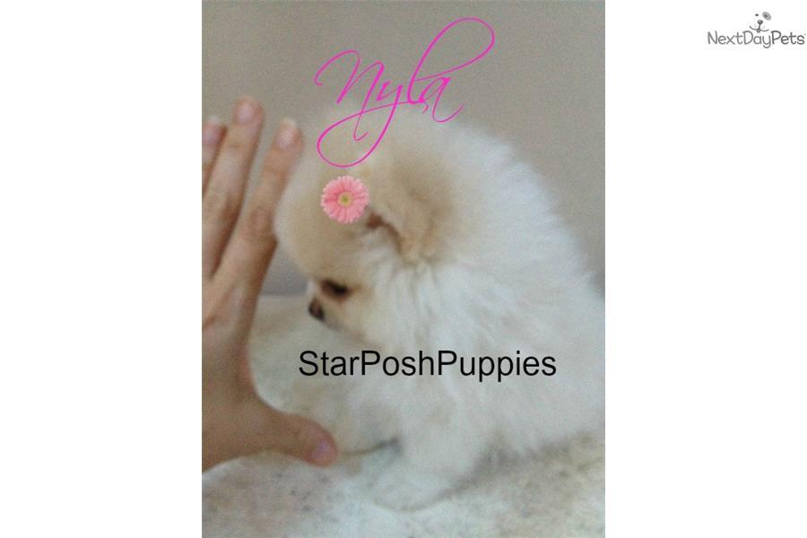 Pomeranian puppy for sale near phoenix arizona f50c9072 2f41