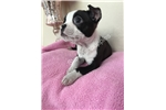 Picture of  TEACUP BOSTON PUPPY MISTY