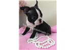 Picture of  TEACUP BOSTON PUPPY ROXY