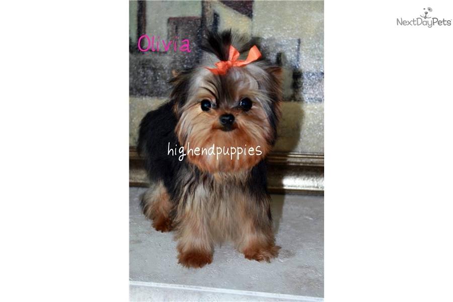Yorkshire Terrier - Yorkie puppy for sale near Phoenix, Arizona ...: nextdaypets.com/directory/dogs/5d4a0f00-2571.aspx