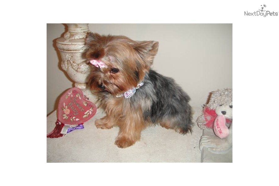 from Blaise tea cup yorkie adult