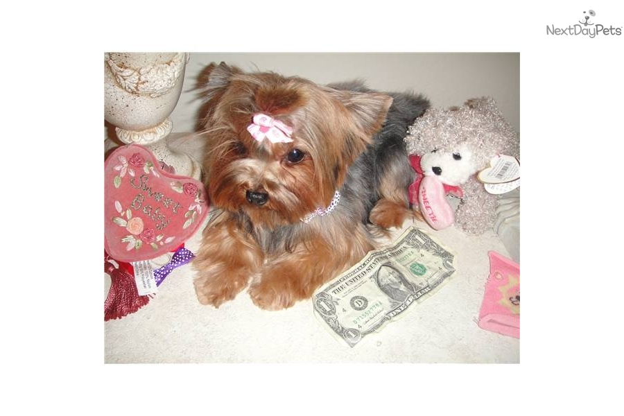 Yorkshire Terrier - Yorkie puppy for sale near Phoenix, Arizona ...: nextdaypets.com/directory/dogs/bbf9cbc2-64d1.aspx
