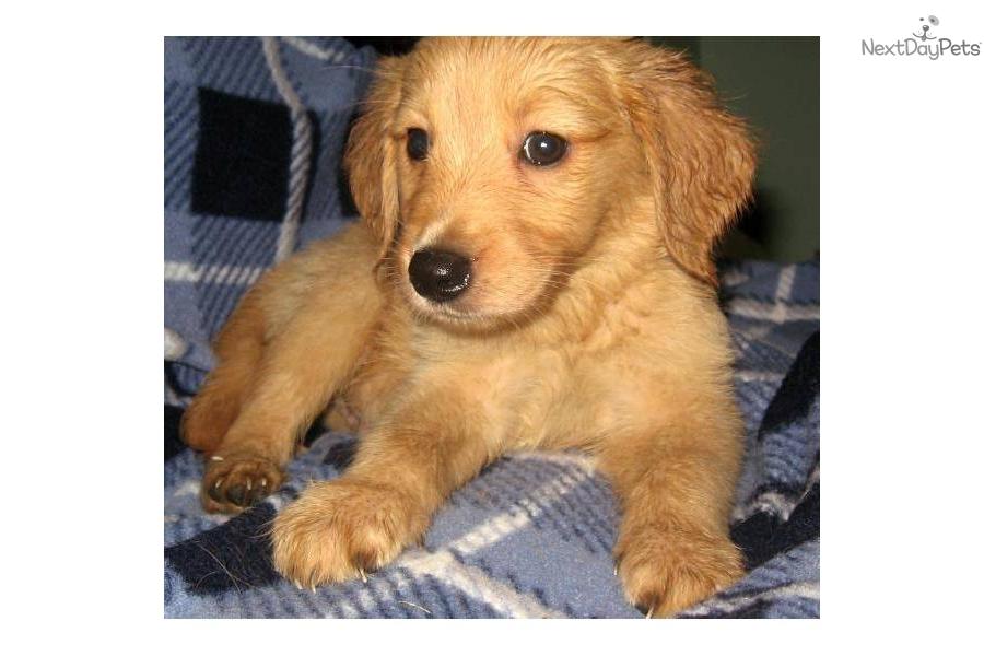 Dog Ready For Adoption Siberian Husky Golden Retriever ...