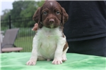 Brittany Spaniels for sale