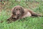 Picture of Winkelmansgundogs.com 815-871-8687