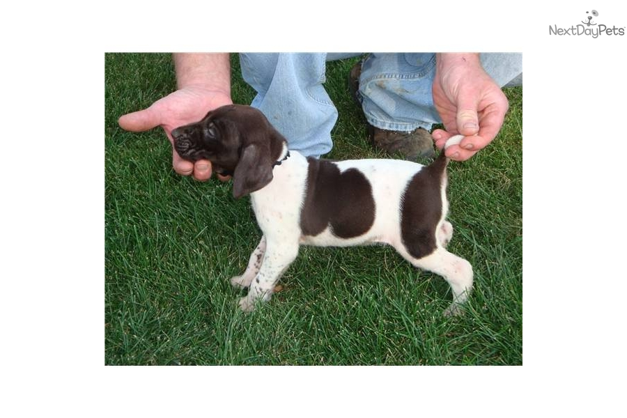German Shorthaired Pointer puppy for sale near Rockford, Illinois ...