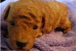 Picture of AKC Red Male Toy Poodle