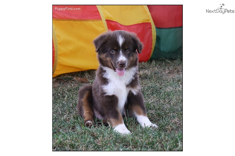 Rush: Miniature Australian Shepherd puppy for sale near ...