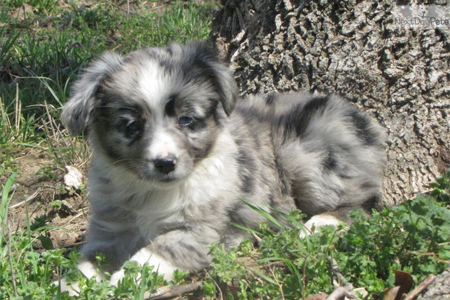 Australian Shepherd Blue Merle Puppies Oklahoma | Dog ...