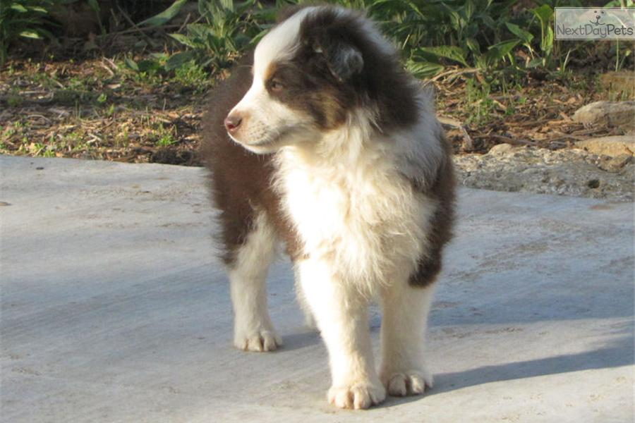 Australian Shepherd Puppies For Sale Near Oklahoma City Design | Dog ...