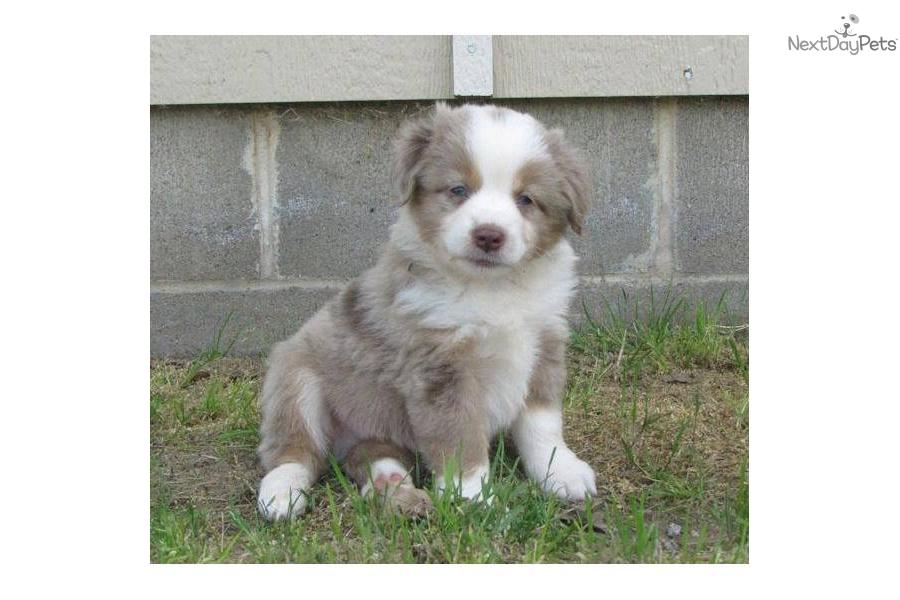 Meet troup a cute miniature australian shepherd puppy for sale for