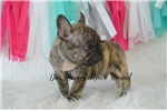 Picture of Mr. Jag -Reverse brindle!!