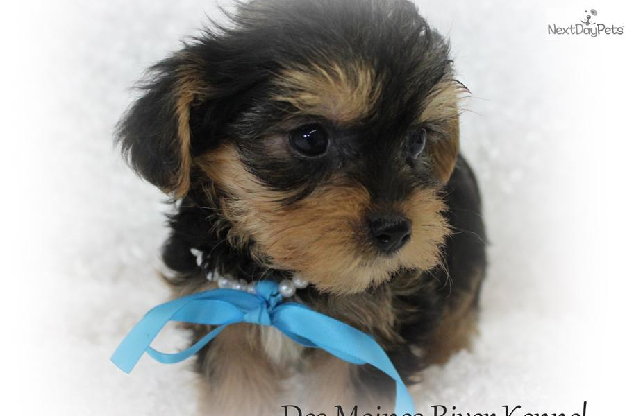 You Adult yorkie poo picture remarkable, rather